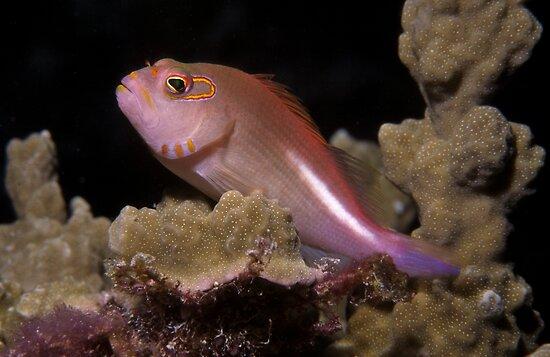 Arc-eye Hawkfish, Bougainville Reef, Australia by Erik Schlogl