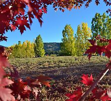 PEEKING THROUGH RED LEAVES AT YELLOW FALL TREES by CHERIE COKELEY