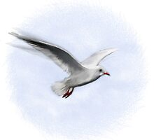 Hovering Gull by boothart