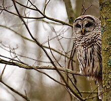 Barred Owl by Owl-Images