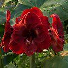 Vivid Scarlet Amaryllis Flowers - Happy Holidays! by Georgia Mizuleva
