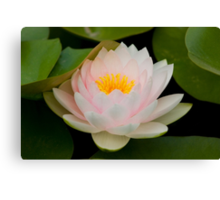 Pink Lotus with in pond. Canvas Print