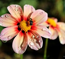 Pink Dahlias and a Bee by Gilda Axelrod