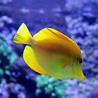 Yellow Tang by Asoka