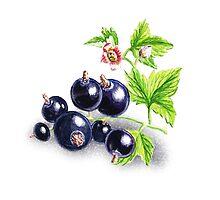 Blackcurrant Botanical Painting by Irina Sztukowski