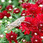 Grasshopper On Mums by Asoka