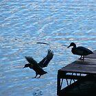 DUCK, Duck! by Asoka