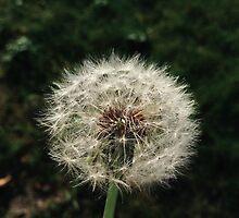 Dandelion by lackerman