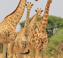 Giraffe - African Wildlife - Patterns in Nature by LivingWild