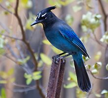 Steller's Jay in my backyard by Eivor Kuchta