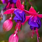October fuchsia by Bryan D. Spellman