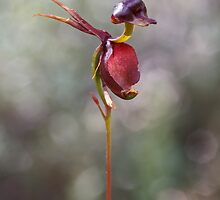 Flying Duck Orchid - Caleana major by Paul Piko