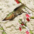 Hummingbird; Aguilar Garden, La Mirada, CA USA by leih2008