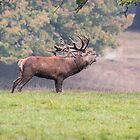 Bellowing Red Deer, Stag by Ashley Beolens