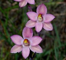 Thelymitra rubra (Salmon Sun-orchid)  by Russell Mawson