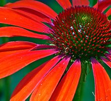 Final Echinacea by phil decocco