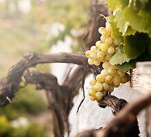 Bunch of white grapes in the vineyard by Antonio Gravante