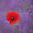 Poppy in Lavender by Rachael Talibart