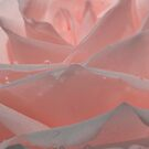 Baby Pink Rose by Megan Noble