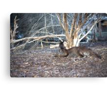 Lazy Old Kangaroo... Canvas Print
