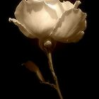 Rose in Sepia by Christine Lake
