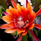 Epiphyllum at its best - South Australia by indiafrank