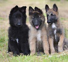 Belgian Shepherd Dog Club of Qld 2015 Calendar by Belgian Shepherd Dog Club of QLD Inc