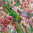 Purple-Crowned Lorikeet by Ian Creek