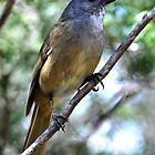 Olive Whistler 1 - Barrington Tops National Park by Leslie-Ann
