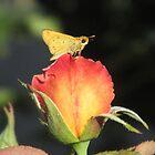 Fiery Skipper Butterfly on Rosebud by Ingasi