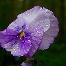 Rainy Day Pansy by James Brotherton