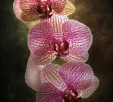 Orchids by Carol Bleasdale
