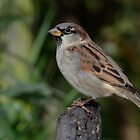 House sparrow - II by Peter Wiggerman