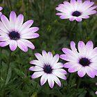 osteospermum by Floralynne