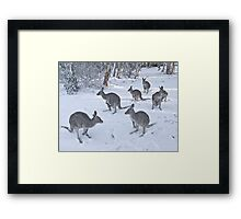 Eastern Grey kangaroos in snow, Snowy Mountains, Australia Framed Print