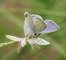 Blue Butterfy on Gaura Bloom by Ingasi