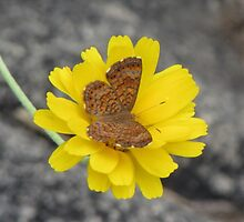 Fatal Metalmark Butterfly on Yellow Wildlfower by Ingasi