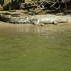 Crocodile - Daintree River by Kay Cunningham