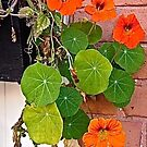 Nasturtiums against a brick wall by Shulie1