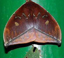 A couple a magic moths - stinging Lichen moth and the Straw-bordered Rosema   - Napo - Ecuador by john  Lenagan
