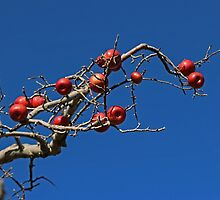 Red Apples Hanging On by Eileen McVey