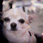 Chihuagua dog by GemaIbarra