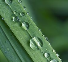 Waterdrops on a grass by mayalenka