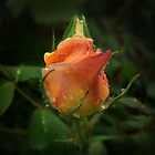 Apricot Rose Buds by Sandra Chung
