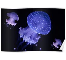 Australian spotted jellyfish Poster