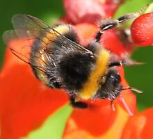 Bumble Bee  by kenmay
