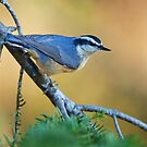 Red-breasted Nuthatch - Algonquin Park, Canada by Jim Cumming