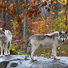 Timber Wolves by Jim Cumming