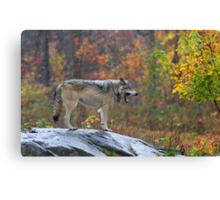 Timber Wolf in the rain Canvas Print