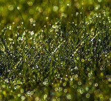 Morning Dew in the Grass (2) by BLaskowsky